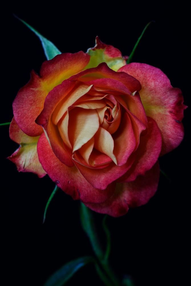 Rose Series - 44