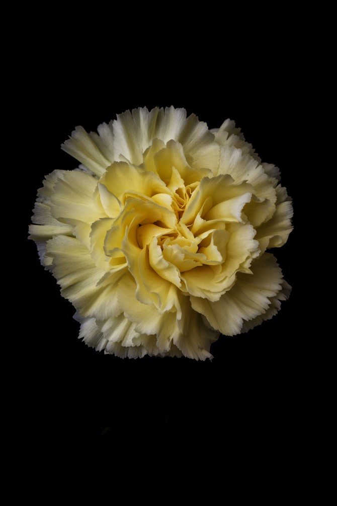 Carnation Series - 3