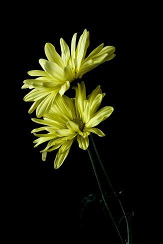 Daisy Series - 3
