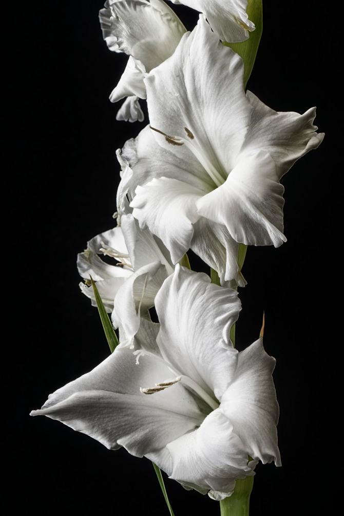 Gladiolus Series - 6