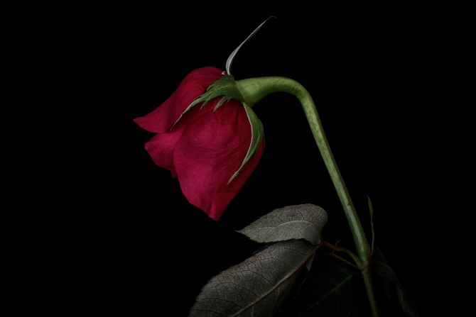 Rose Series - 46