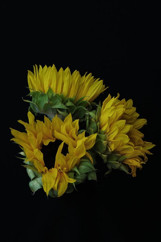 Sunflower Series - 10