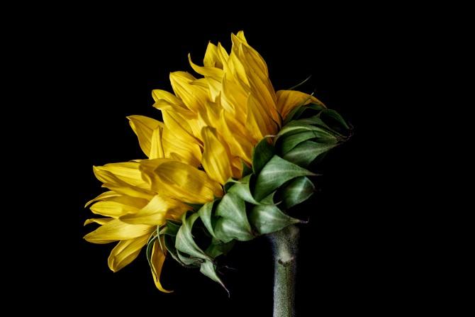 Sunflower Series - 9