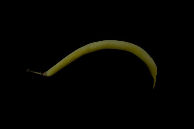 Consider The Wax Bean - 1