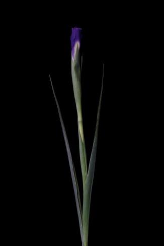 Iris Series - 26