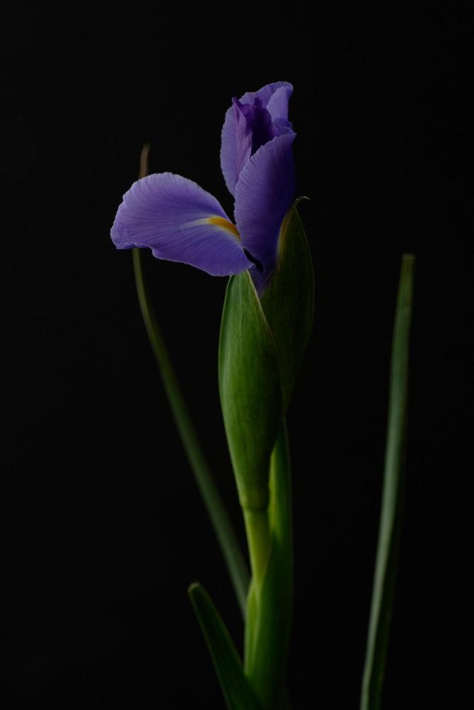 Iris Series - 27