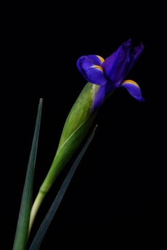 Iris Series - 28