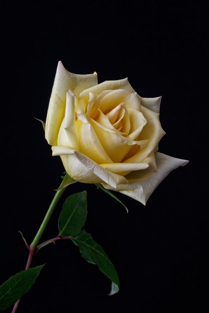 Rose Series - 48