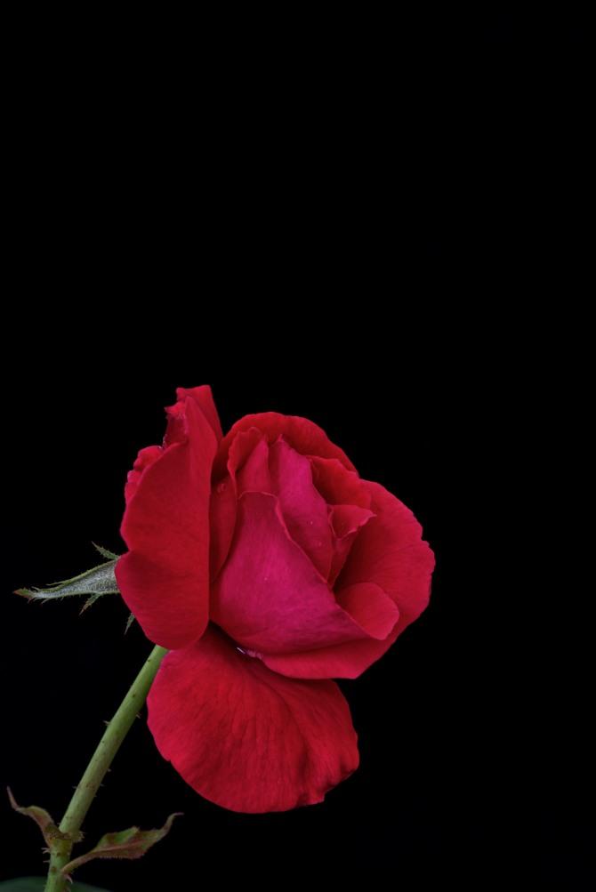 Rose Series - 49