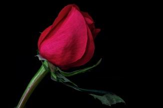Rose Series - 50