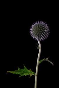 Globularia Cordifolia - 1