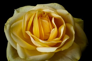 Rose Series - 51