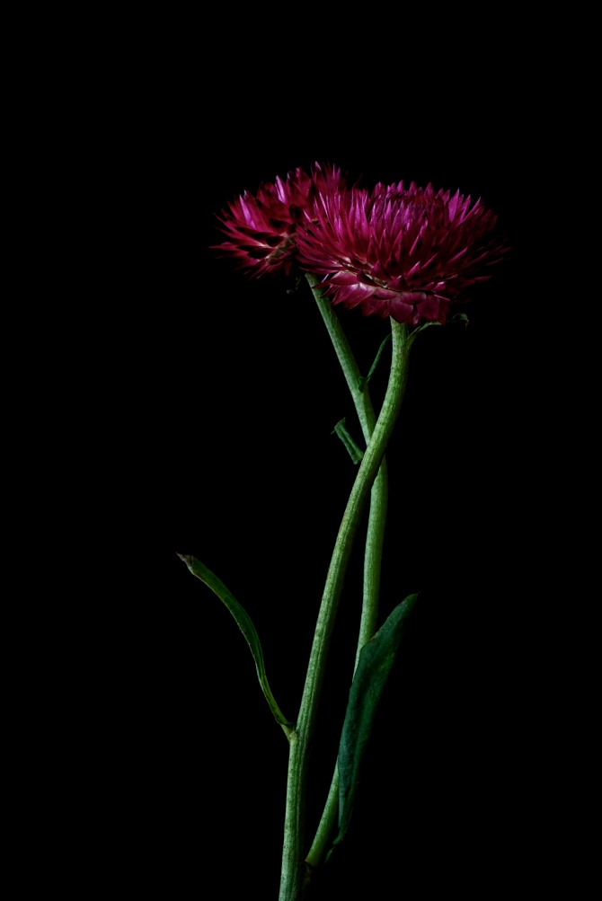 Strawflower - 3