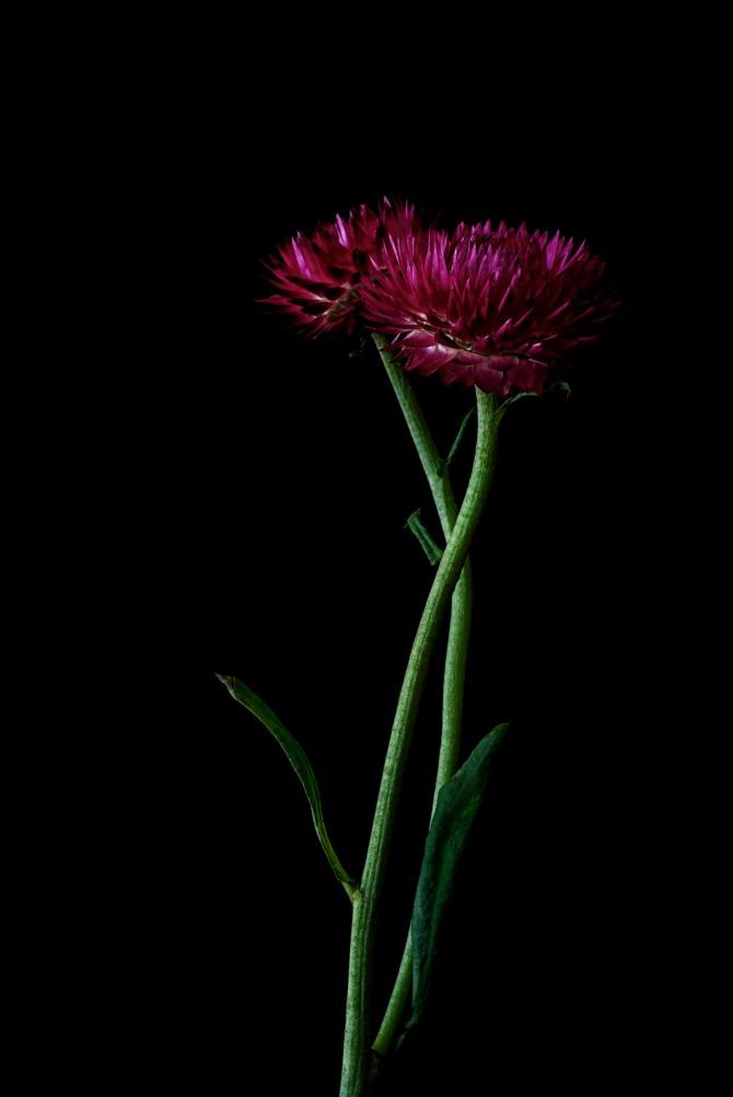 Strawflower - 3