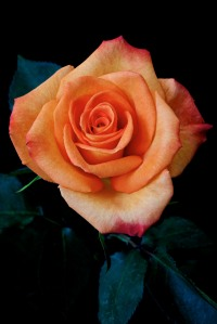Rose Series - 52