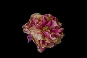Dried Rose - 16