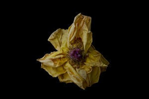 Dried Rose - 17