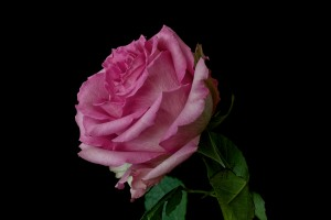 Rose Series - 53