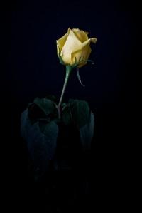 Rose Series - 54