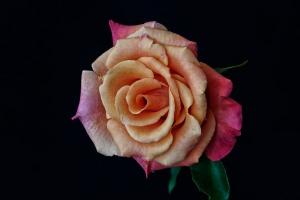 Rose Series  - 56