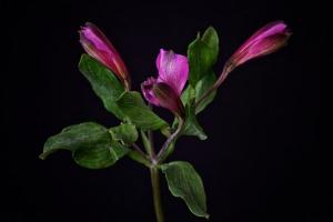 Alstroemeria Study - 10