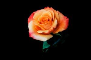 Rose Series - 57