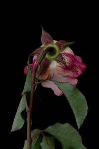 Rose Series - 58