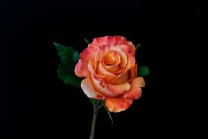 Rose Series - 60
