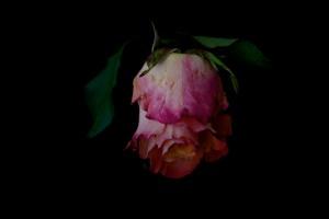 Rose Series - 61