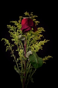 Rose Series - 62