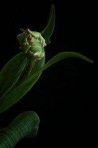 A Tulip Emerges - 61