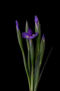 Iris Series - 29