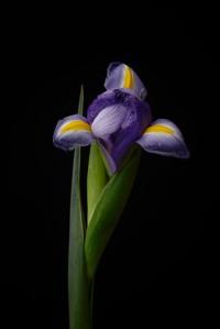 Iris Series - 30