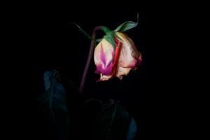 Rose Series - 65